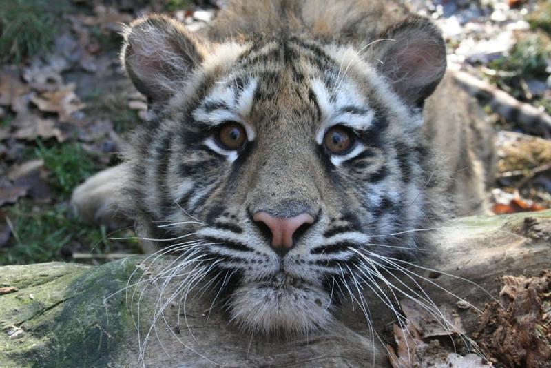 tigru de la Zoo Targu Mures